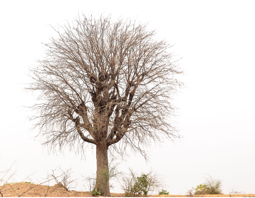 Solitary tree, Kano